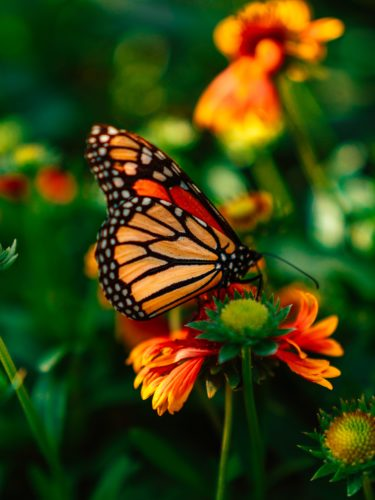 How to Create Your Own Monarch Butterfly Garden | Comfy Goat